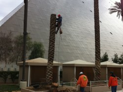 Affordable Tree Service @ The Luxor - Commercial Tree Serivce
